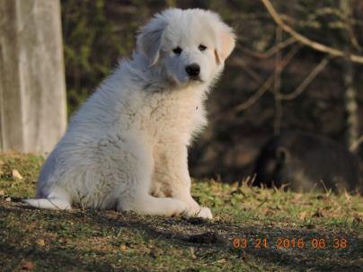Jim, maremma LSG pup in training